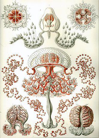 Anthoathecata - Anatomical details of Pandeidae (Filifera). Lower left, top right: Neoturris pileata. Lower right: Stomotoca pterophylla. From Kunstformen der Natur by Ernst Haeckel (1904)