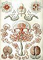 Haeckel Anthomedusae.jpg