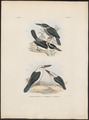 Halcyon funebris - 1863-1876 - Print - Iconographia Zoologica - Special Collections University of Amsterdam - UBA01 IZ16800141.tif
