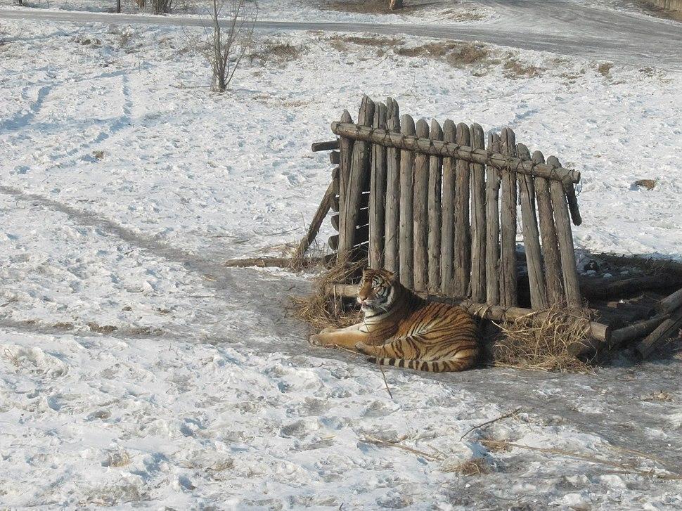 Harbin Siberian Tiger Park 2