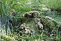 Harilik murumuna (Lycoperdon perlatum).jpg