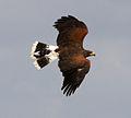 Harris Hawk 4c (6944105909).jpg