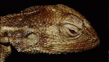 Harvard University Museum of Comparative Zoology - Agama hartmanni.jpg