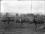 Harvesting Tobacco (4903252775).jpg