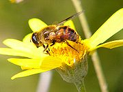 This is not a bee, but a syrphid fly, a Batesian mimic.