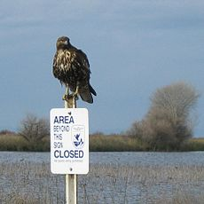 Hawk at Kern National Wildlife refuge.jpg