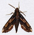 Hawkmoth (Xylophanes guianensis) (27488579879).jpg