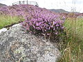 Heather in full bloom Scotland 045.jpg