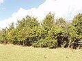 Hedge with hawthorn, near Haddenham - geograph.org.uk - 43185.jpg