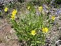Helianthella uniflora plant-6-22-04.jpg
