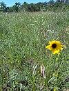 Helianthus maximiliani - SunflowerInSK