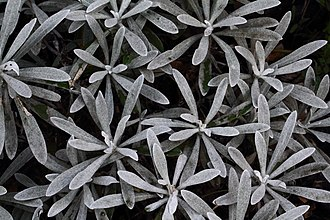 Gnaphalieae - The pubescent foliage of Helichrysum orientale