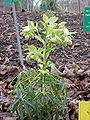 Helleborus foetidus1.jpg