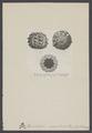 Hemicidaris - Print - Iconographia Zoologica - Special Collections University of Amsterdam - UBAINV0274 007 02 0043.tif