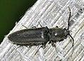 Hemicrepidius-niger-02-fws.jpg
