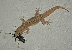 240px hemidactylus turcicus with prey