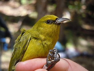 Kīlauea - The 'amakihi (Chlorodrepanis virens) is one of the many birds that live on the volcano's flanks.