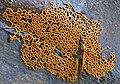 Hemitrichia serpula (Scop.) Rostaf 581311.jpg