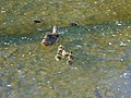 Hen and eight ducklings in stream at BYU, Jun 16.jpg