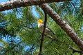 Hermit Warbler (immature) Rd to Pinery Campgrd Portal AZ 2019-08-14 10-13-06 (48595070931).jpg