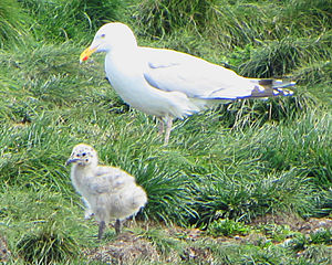 American herring gull - Adult with chick, Elliston, Newfoundland