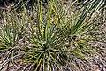 Hesperoyucca whipplei in Christchurch Botanic Gardens 04.jpg