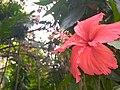 Hibiscus Rosa Sinensis in Baldha Garden.jpg