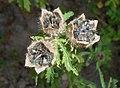 Hibiscus cannabinus 2015-08-29 5741.jpg