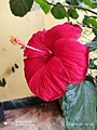 Hibiscus red01.jpg