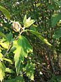Hibiscus syriacus sl18.jpg