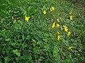 Hieracium laevigatum plant (03).jpg