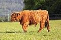 Highland cow Vonoklasy.jpg
