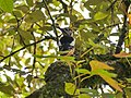 Himalayan Woodpecker (23737459148).jpg