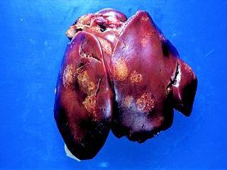 Histomoniasis bird disease