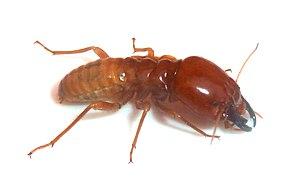 Hodotermitidae - H. mossambicus soldier