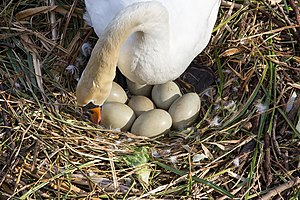 Mute swan - Nesting in spring, Cologne, Germany