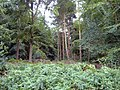 Hollyhurst Wood, Whitchurch - geograph.org.uk - 213700.jpg