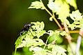 Horsefly (19679901159).jpg