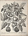 Hortus Eystettensis, 1640 (BHL 45339 341) - Classis Autumnalis 1.jpg