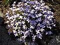Houstonia caerulea 'Millard's Variety' 1.JPG