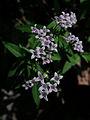 Houstonia purpurea - Venus Pride.jpg