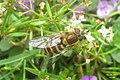 Hoverfly - Syrphus sp. (Gru) (24013380308).jpg