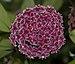Hoya pubicalyx (70261).jpg