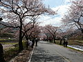Hwagae Cherry Blossoms Festival 020.JPG