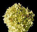 Hydrangea macrophylla20090812 149.jpg