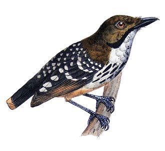 Dot-backed antbird - Hylophylax punctulatus Castelnau