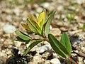 Hypericum humifusum sl14.jpg