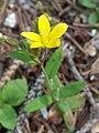 Hypericum humifusum sl15.jpg