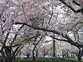 IMG 2245 - Washington DC - Cherry Blossoms.JPG