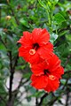 IMG 7777 ชบา (Hibiscus) Photographed by Peak Hora.jpg
